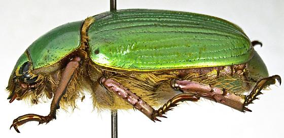 LeConte's Chrysina - Chrysina lecontei