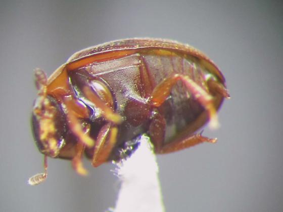 Leaf litter  beetle - Cercyon adumbratus - male