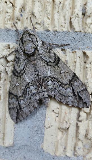 gray moth - Ceratomia undulosa