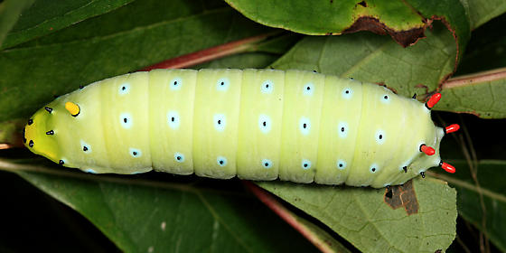 Promethea caterpillar - Callosamia promethea