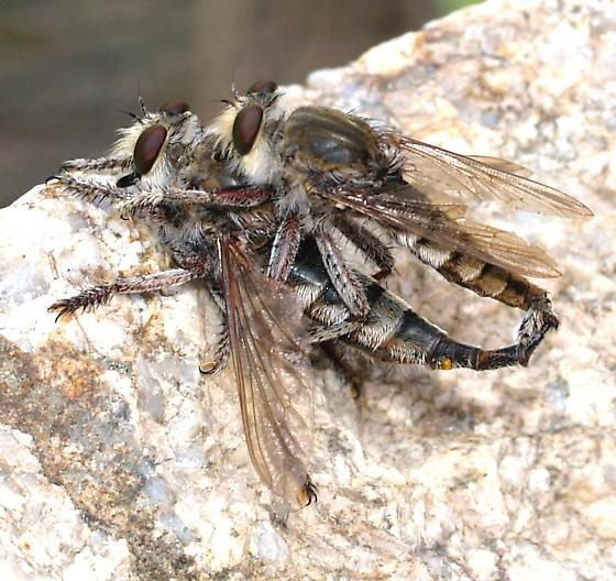Mating Robberflies - Promachus - male - female