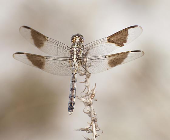 Erythrodilax umbrata? - Erythrodiplax umbrata - male
