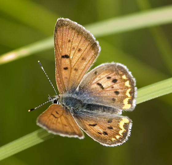 Purplish? female? - Lycaena helloides - male