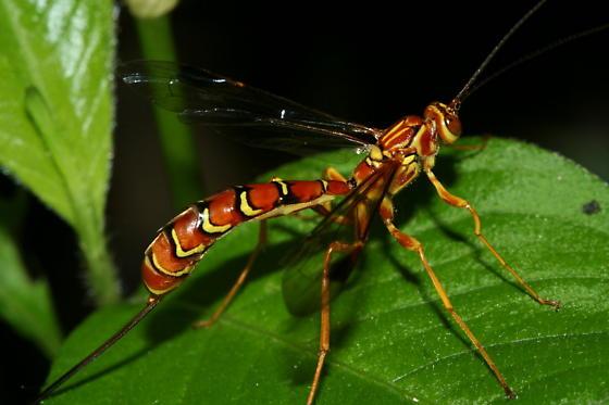 Megarhyssa macrurus? - Megarhyssa macrurus - female