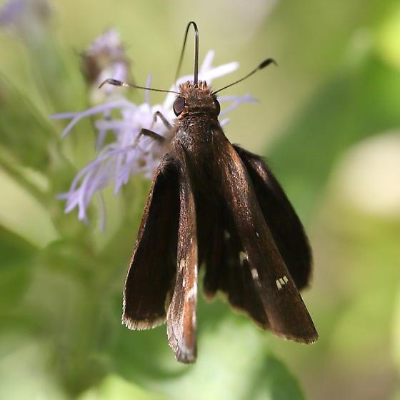 Skipper - Lerema accius - female