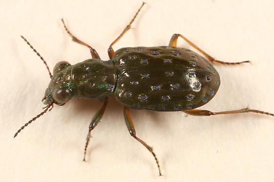 Shore Beetle - Elaphrus olivaceus