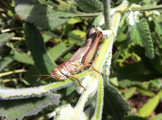 Grasshopper  - Melanoplus yarrowii - female