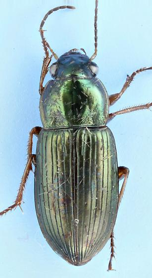 Carabid #20 - Anisodactylus laetus