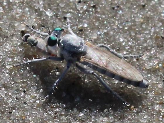 Stichopogon argenteus