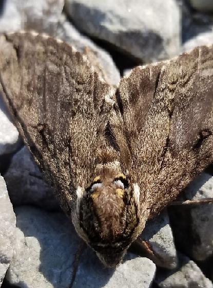 C. Catalpae sphinx? - Ceratomia catalpae