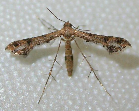 Lantanophaga pusillidactyla