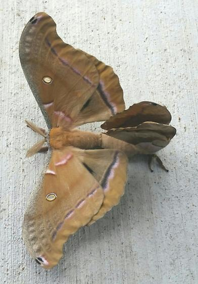 Polyphemus mating pair  - Antheraea polyphemus - male - female