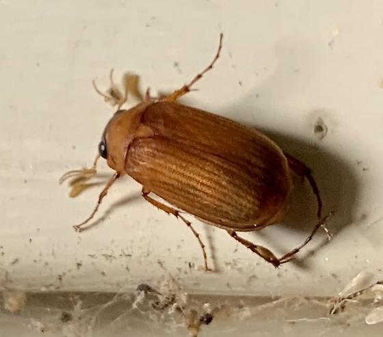 Unknown beetle - Nipponoserica peregrina