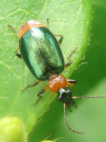 Green-winged Lebia? - Lebia viridipennis
