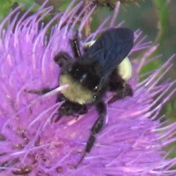 Bumble Bee on Tall Thistle - Bombus pensylvanicus