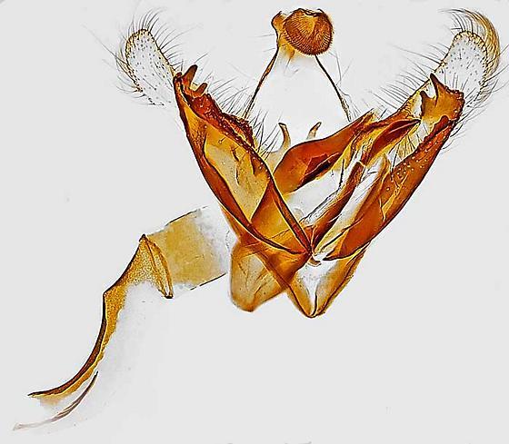 genitalia - Coleophora cratipennella - male