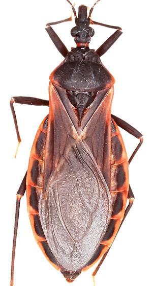 Triatoma rubida? - Triatoma rubida - female