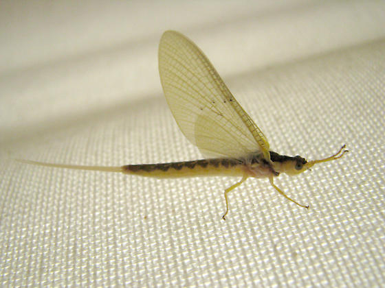 Mayfly from my bedroom - Pentagenia vittigera