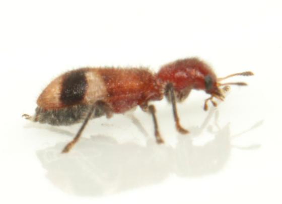 Cleridae, lateral - Enoclerus rosmarus