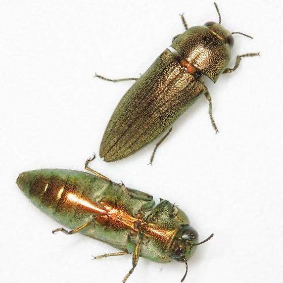 Agaeocera gentilis (Horn) - Agaeocera gentilis - male - female