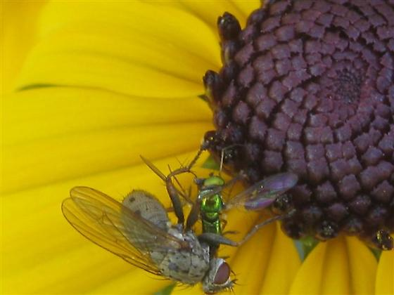 Is this fly attacking another fly? - Coenosia tigrina