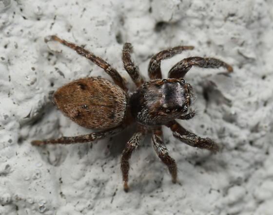 Salticid - Evarcha hoyi