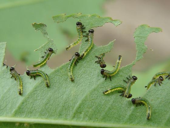 Sawfly larvae on black cherry - Arge