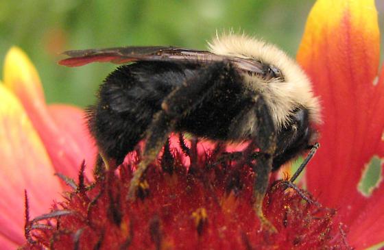 Bumblebee - Bombus citrinus - female