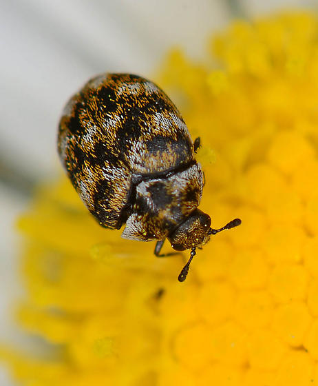 Tiny beetle - Anthrenus verbasci