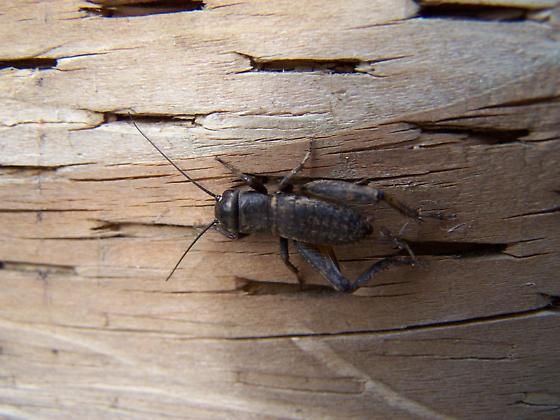 Field Cricket - Gryllus integer