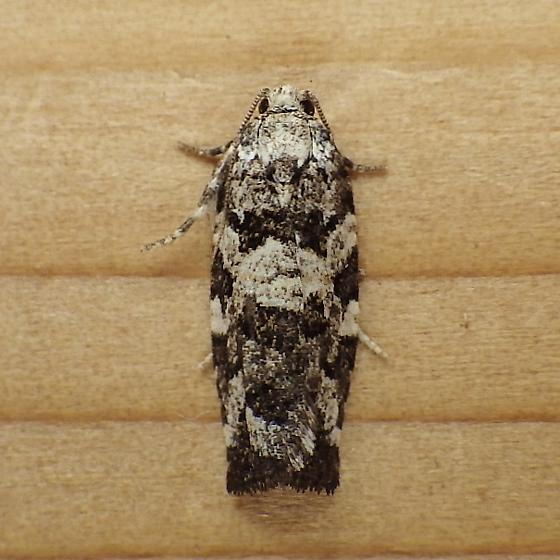 Tortricidae: Archips packardiana - Archips packardiana