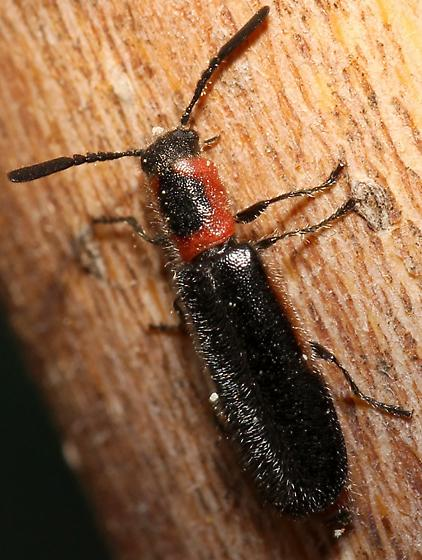 female Monophylla????  - Monophylla terminata - female