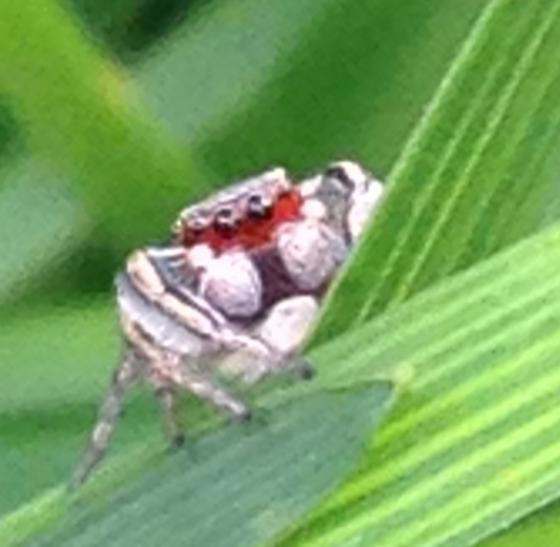 Jumping Spider  - Habronattus pyrrithrix
