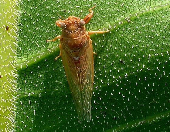 Cicada from Railroad Prairie - Cicadetta calliope