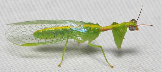 Green bug - Zeugomantispa minuta