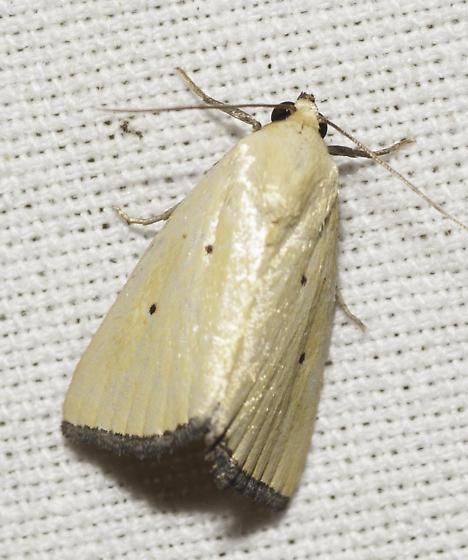 Another Pyralid/Cambrid? - Marimatha nigrofimbria