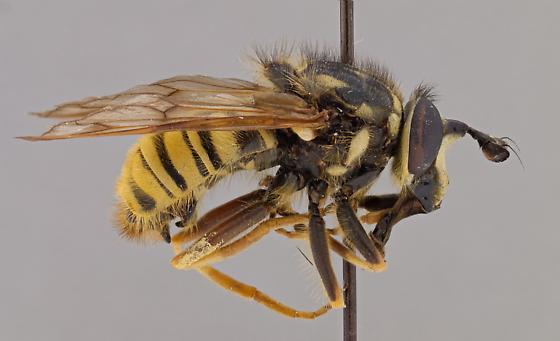 Sphecomyia occidentalis - male