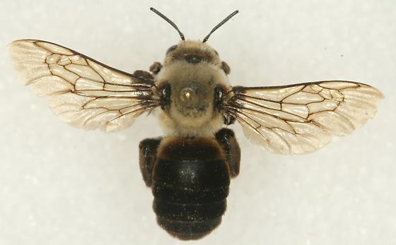 Bee - Ptilothrix bombiformis