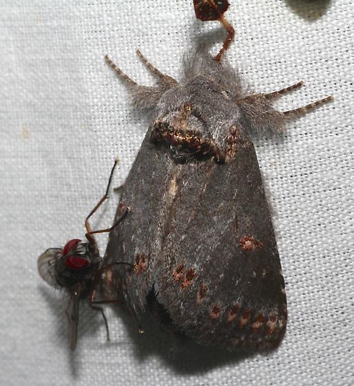 Gray Moth Sta. Rita Mtns. - Theroa zethus