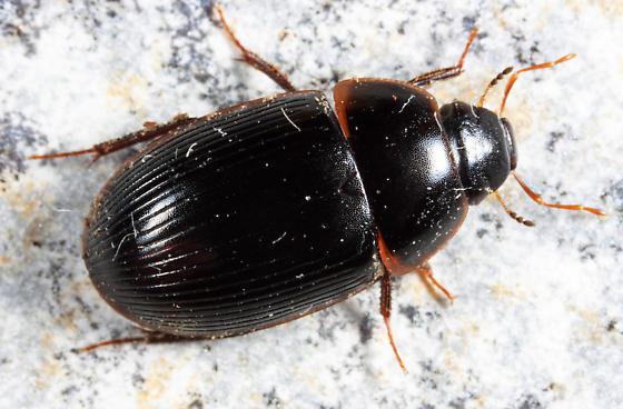 Water Scavenger Beetle - Helocombus bifidus