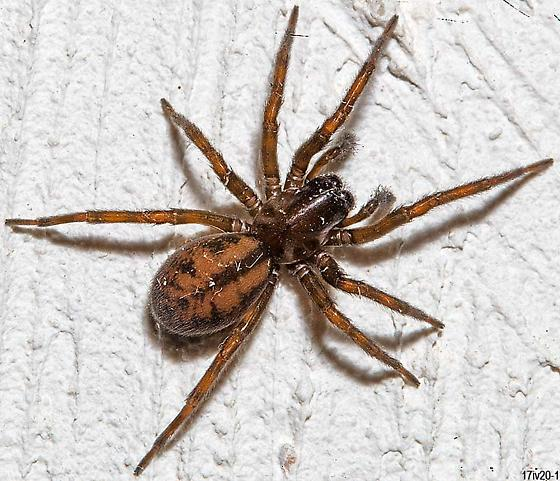 garage spider - Callobius bennetti