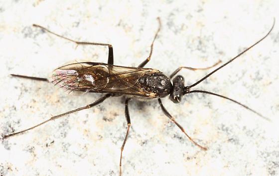 Ichneumon - Arenetra nigrita - female