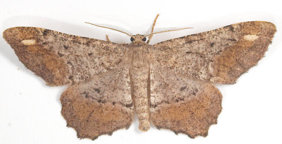 Moth to porch light  - Hypagyrtis esther - male