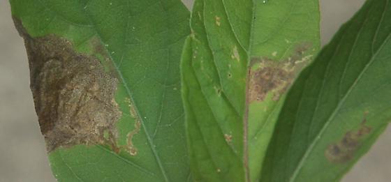 Lake Crabtree leaf miner on Ruelia caroliniensis D1009 2018 2 - Liriomyza blechi
