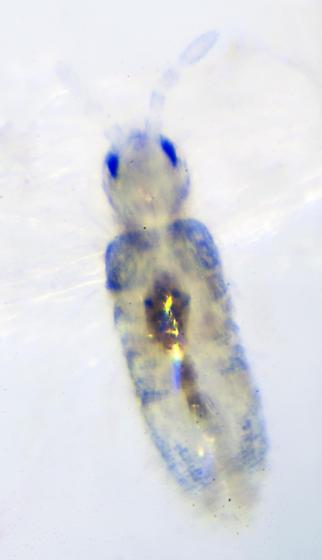 Unknown Springtail - Lepidocyrtus cyaneus