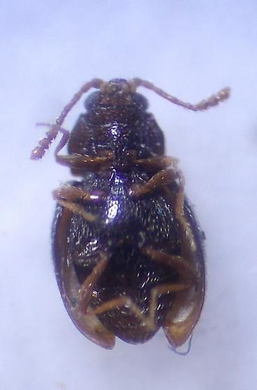 Beetle - Atomaria