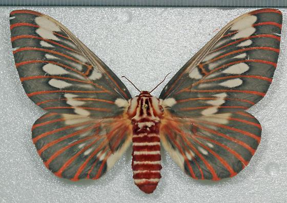 Saturniidae - Citheronia splendens - female