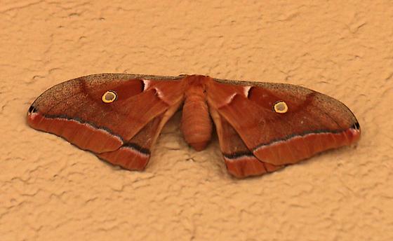 Silk Moth - Antheraea polyphemus