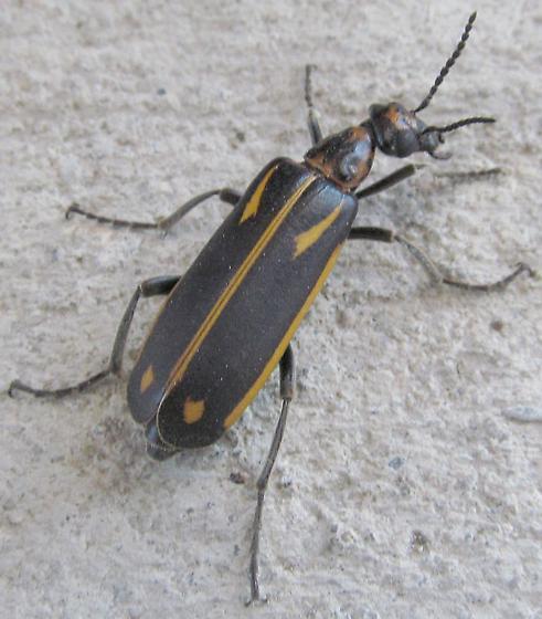 unkn beetle - Pyrota insulata