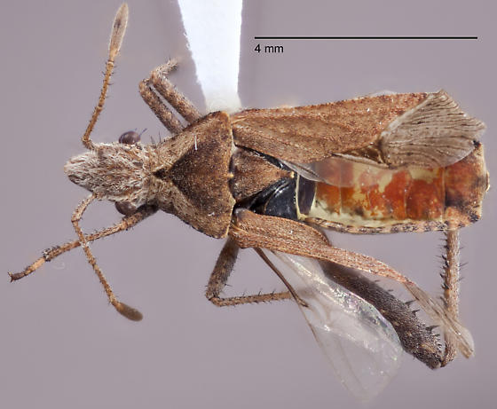 Hemiptera 7 - Stachyocnemus apicalis